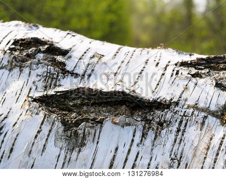 Close up birch tree background in spring