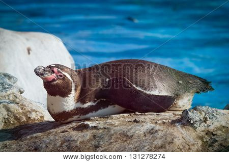 Humbold Penguins At Water. Zoo In Lima. Peru