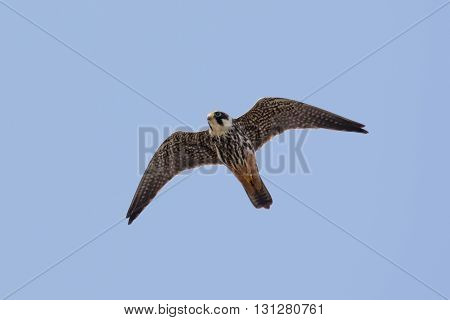 Hobby (Falco subbuteo) in flight against a blue sky.