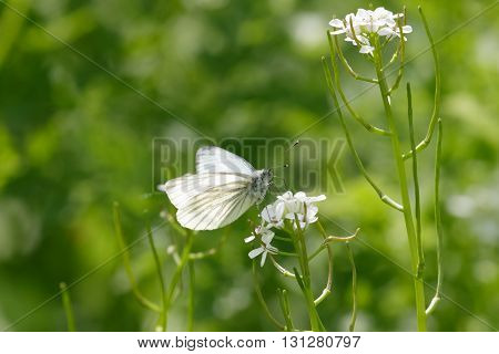 Green-veined white butterfly (Pieris napi) feeding on the nectar of a white flower.
