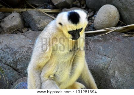An adult white Gibbon with a black face