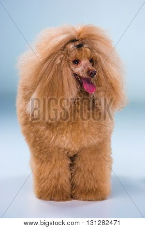 Red Toy Poodle puppy standing on a gray background