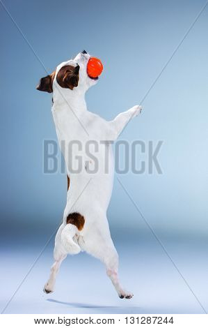 Small Jack Russell Terrier jumping with red ball high on gray background