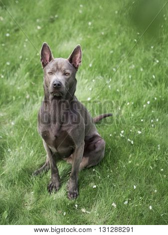 Grey summer adult thai ridgeback dog in forest in beauty flowers