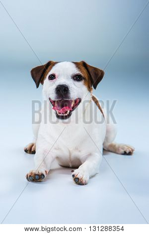 Small Jack Russell Terrier sitting on gray background