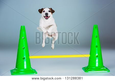 Small Jack Russell Terrier jumping high on gray background