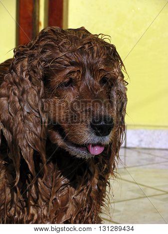 Foco no rosto de um cachorro da raça cocker spaniel inglês de cor caramelo com o pelo molhado