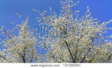 Beautiful spring flowering tree against a clear blue sky