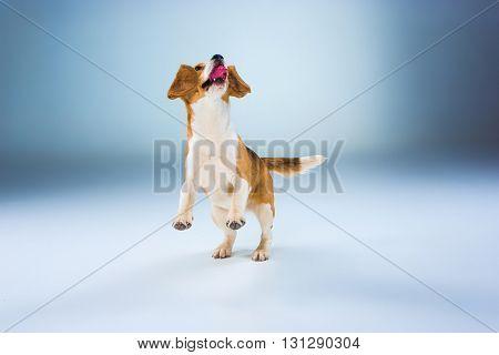 The beagle dog running on gray background