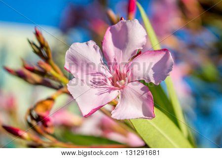 Nerium oleander. spring, sunny day. Georgia. Flora.