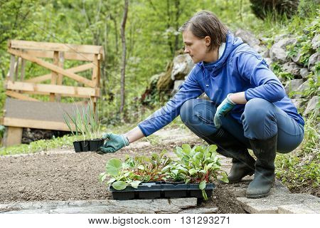 Gardener kneeling and preparing seedlings for planting in freshly ploughed garden beds. Organic gardening healthy food nutrition and diet self-supply and housework concept.