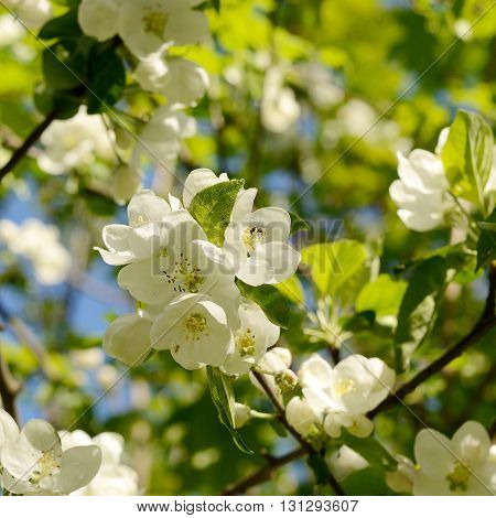 pear blossom in the garden. Spring flowers background