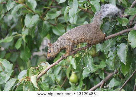 Little gray squirrel stretched out on a tree branch.