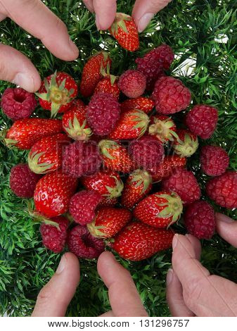 People Hands Holding Raspberries And Strawberries