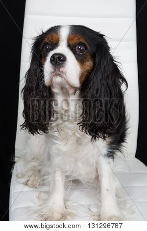 Beautiful Cavalier King Charles Spaniel Dog Posing On A Chair