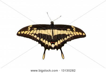 Swallow Tail  Btterfliy