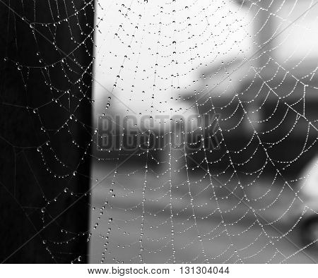 cobweb after rain with white background and black