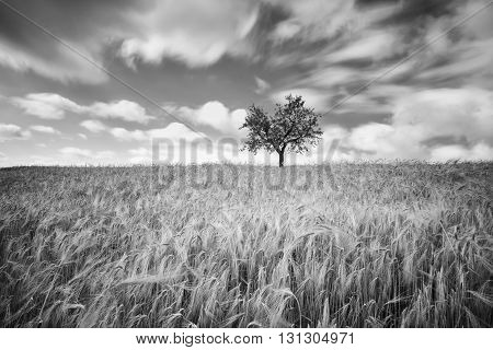 Green wheat on a grain field in spring, black and white photography with long exposure