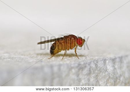 A Macro Photo of a Gnat fly