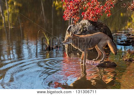 Backlit Coyote (Canis latrans) on Edge of Pond - captive animal