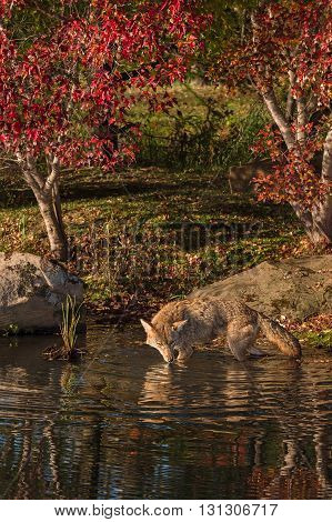 Coyote (Canis latrans) Wades in the Water - captive animal