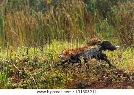 Red Fox and Silver Fox (Vulpes vulpes) Run Left - captive animal