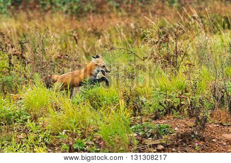 Red Fox (Vulpes vulpes) Bounds Along - captive animal