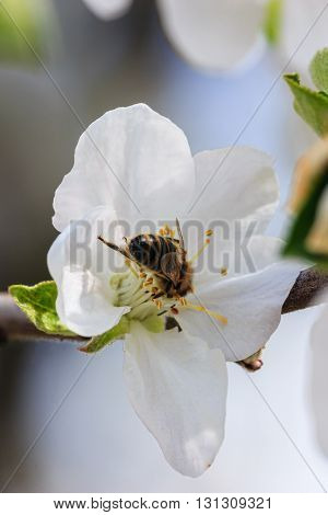 Bee on a flower apple. Soft focus