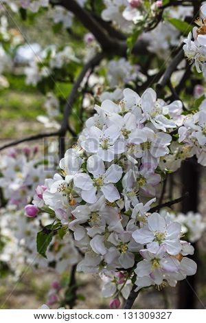 Branch apple tree with white flowers in soft focus