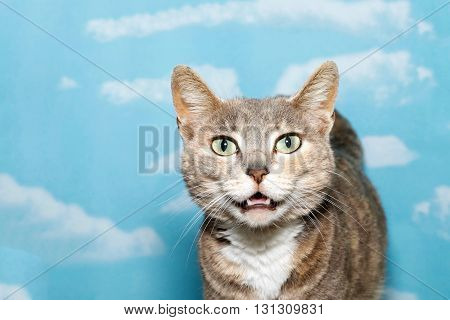 Portrait Of Diluted Tortie Tabby Cat On Blue Background With White Clouds.