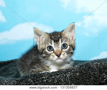 One Black And White Tabby Kitten Crouched Down On A Textured Gray Pad Blue Background With White Clo