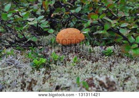 Mushroom orange-cap boletus. Edible mushroom mountain Siberian taiga at the end of the summer.