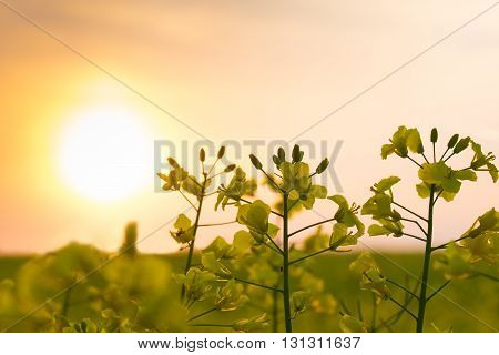 The sun is setting over a field of oilseed rape. Masuria Poland.