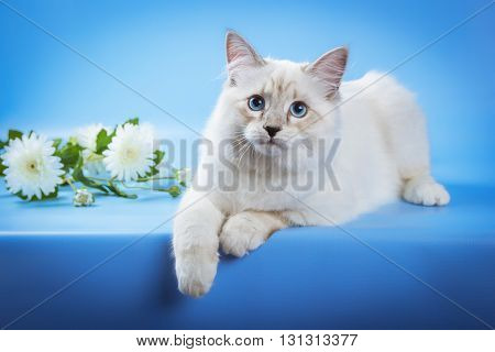 Cute neva masquerade kitten on blue background.