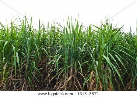Sugar cane leaves isolate on white background.
