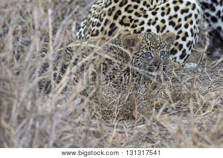 Leopard mother cares for her cub in the gathering darkness