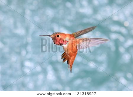 Male Rufous Hummingbird in Flight, green background.  Showing his beautiful gorget