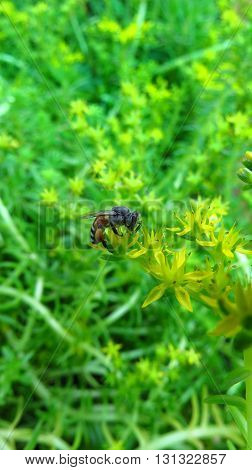 A honeybee helping in polliniion on a yellow wild flower in the Indian tropics.