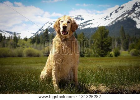 Golden Retriever posing in alpine meadow after swimming
