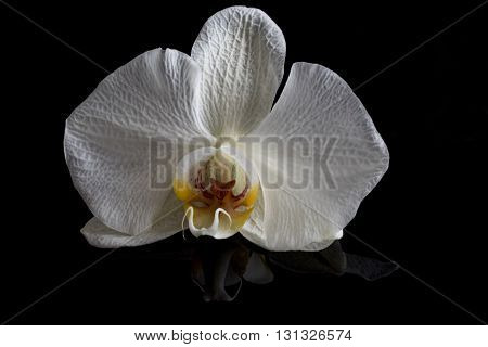 Single orchid flower isolated on shiny black surface with slight reflection