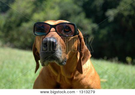 Funny Rhodesian Ridgeback Dog