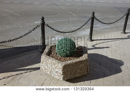 green decorative artificial ball-shaped boxwood shrub on urban street flowerbed in Moscow Russia