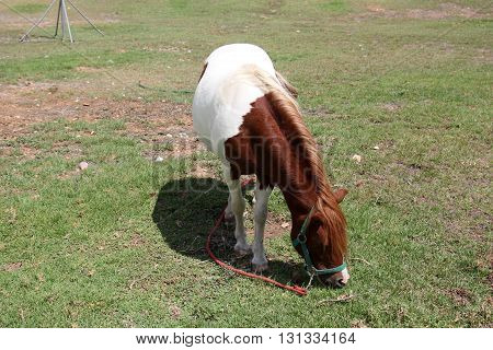 on the edge of the forest, on the green and juicy grass grazing spotted horse