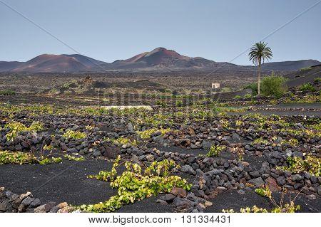 Ground level vineyards in La Geria region Lanzarote
