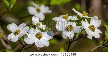 Dogwood blooms during the spring. Taken in Kentucky.