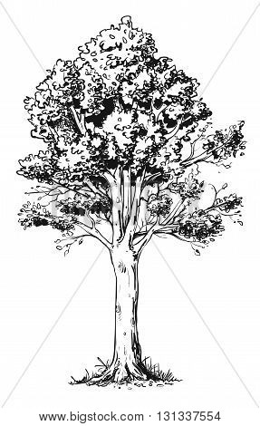 Vector illustration of beech tree for coloring.