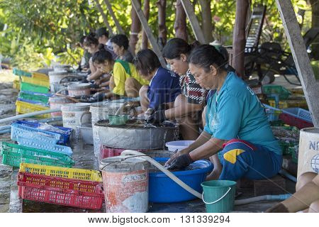 KOH PHANGAN THAILAND - NOVEMBER 16 2015: Unknown woman cleaned squid drying in the fishing village. Fishing is main occupation and income source on the island