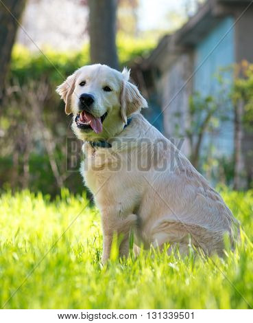 Young purebred golden retriever outdoors on grass field on a sunny summer day.