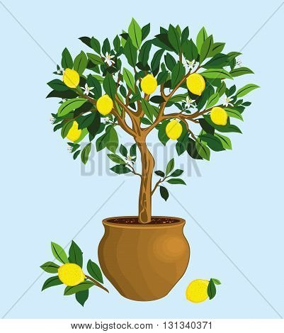 Lemon tree in a ceramic pot on biue backgraund