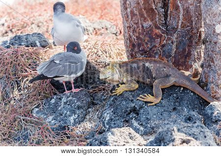 Swallow Tailed Gull And Iguana On  Galapagos Islands